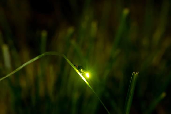 licurici, imagini cu licurici