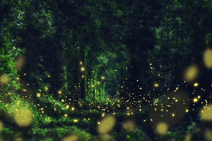licurici, licurici stralucind, cum arata licuricii