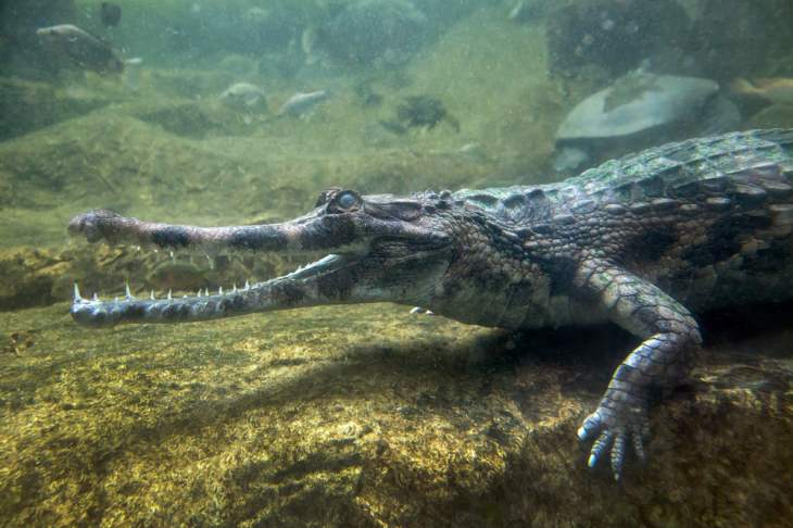 crocodilul Gavial