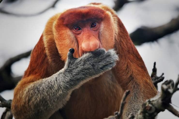 maimuta Proboscis
