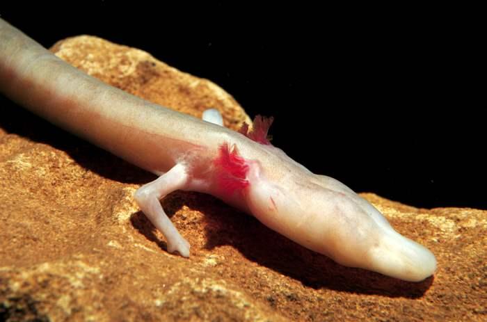 Olm, Proteus anguinus