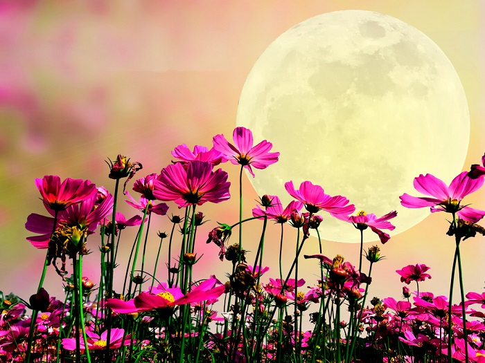 luna roz, luna plina