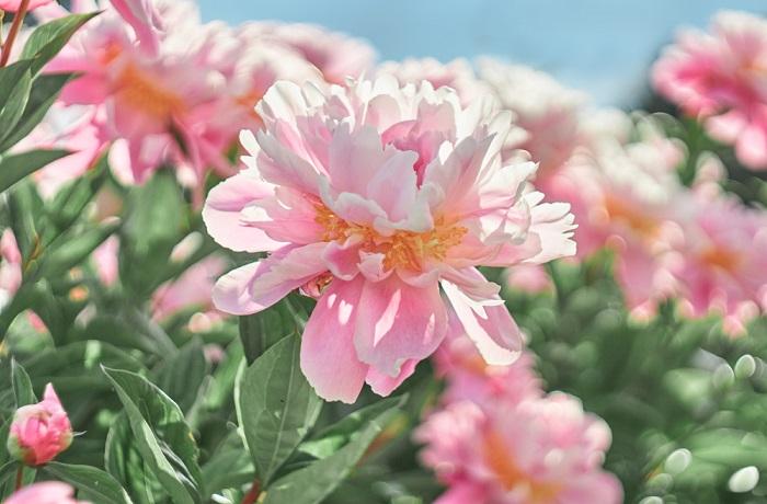bujori flori