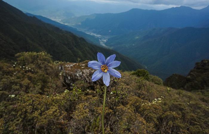 mac albastru de Himalaya