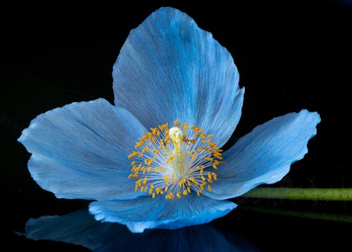 macul albastru
