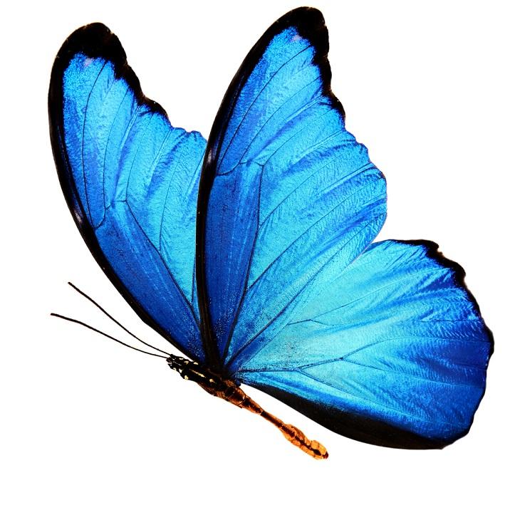 Fluturele Morpho albastru gigant