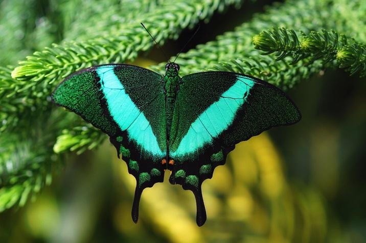fluturele de smarald