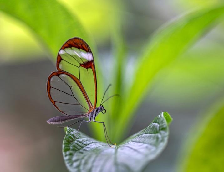 fluturele de sticla