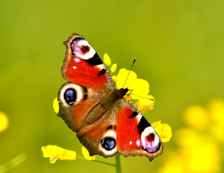 fluturele paun