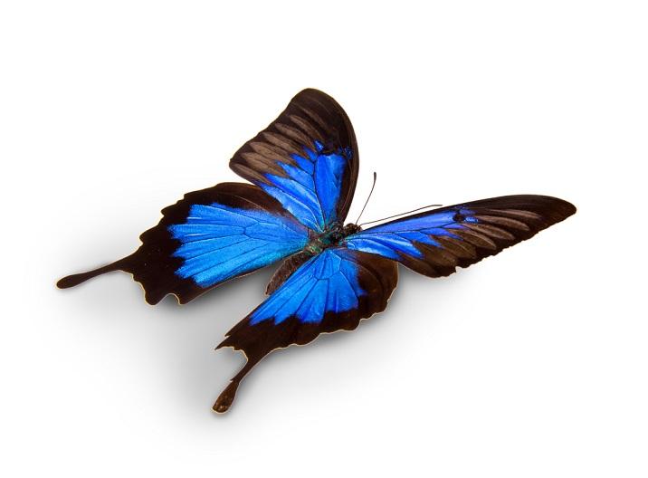 fluturele Ulise