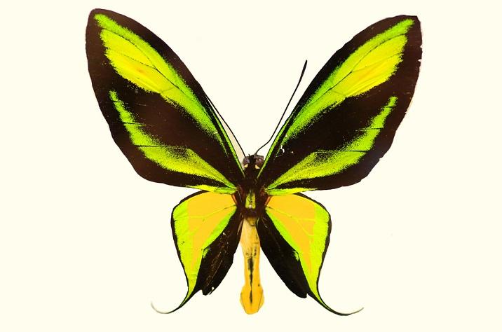 Ornithoptera paradise