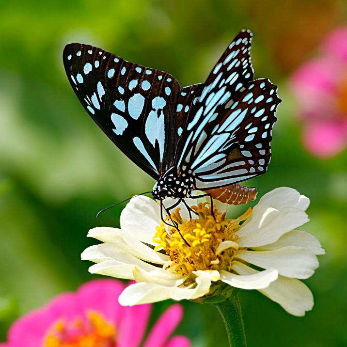 Blue tiger butterfly, Danaid Tirumala limniace