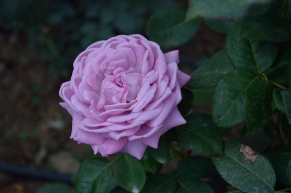 Cum pregatim corect trandafirii de gradina pentru iarna