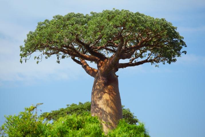 baobab verde