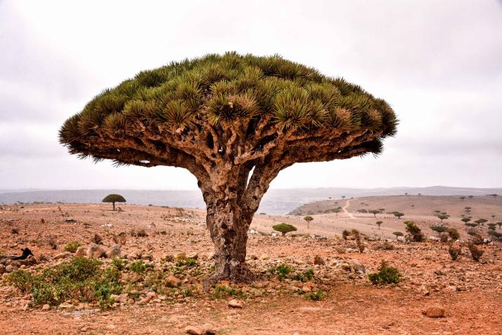 copac arbore Socotra