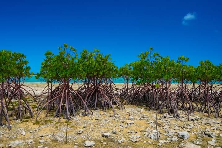 copaci mangrove