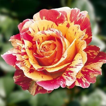 cei mai frumosi trandafiri in gradina ta. Black Bedroom Furniture Sets. Home Design Ideas