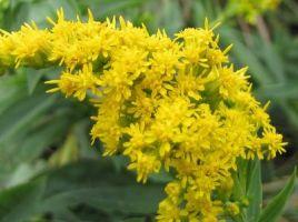 flori de sanziene(1)