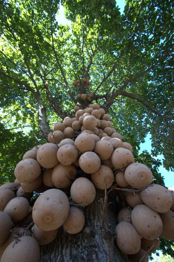 fructe arbore giulea de tun