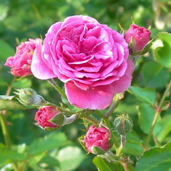rosa damascena trandafiri parfumati pentru dulceata