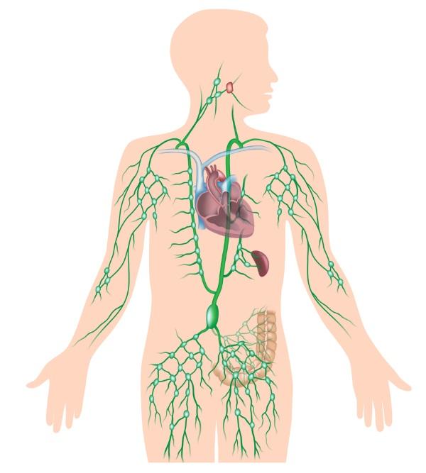 sistem limfatic; sistem circulator limfatic, limfa