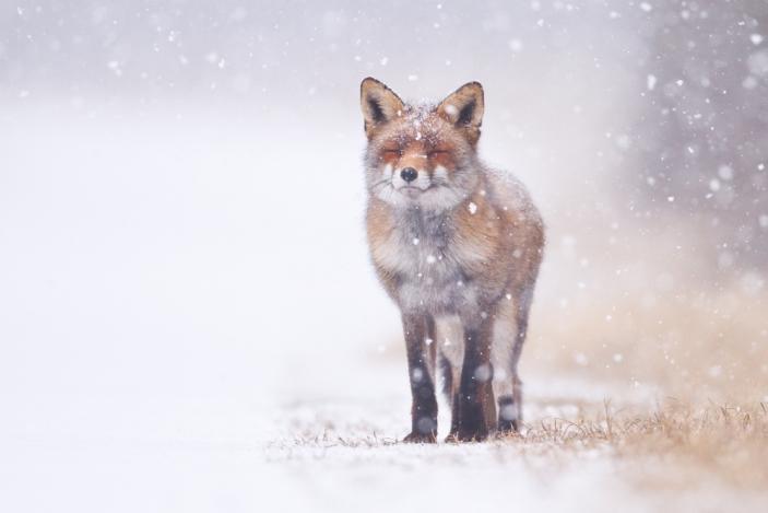 vulpe, iarna