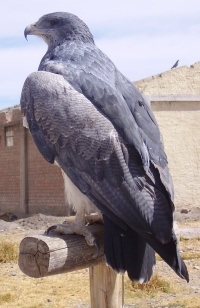 Panchpakshi Vultur