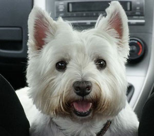 westie, west highlander white terrier, terrier