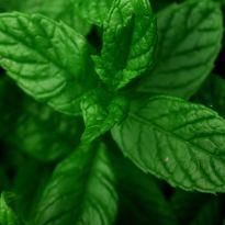 Menta, planta cu proprietati medicinale. Minighid de ingrijire.