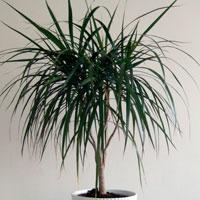 Dracaena, palmierul din apartament. Minigrid de ingrijire