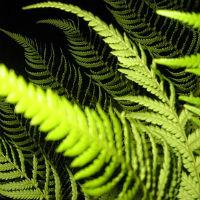 Feriga - 'verdele naucitor' care purifica aerul si vindeca trupul