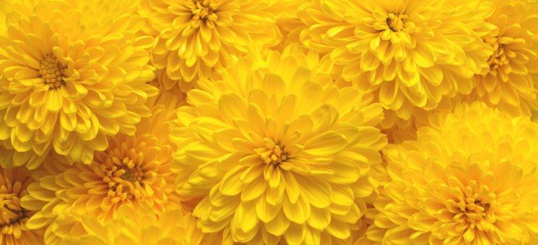 Crizantemele - florile de aur ale toamnei. Aduc vindecarea si linistea!