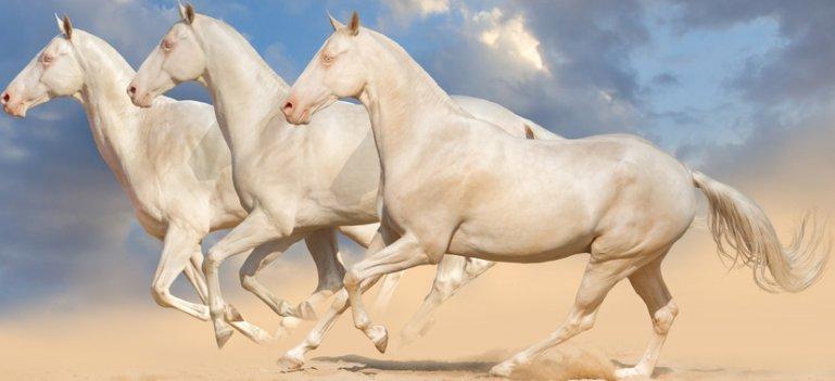 WOW, sunt cei mai frumosi cai din lume! Ahal-Teke Perlino - caii care stralucesc ca aurul