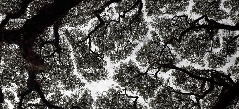 INTELIGENȚA COPACILOR: Fenomenul 'Coroanelor Timide' - copacii care refuză să se atingă unii pe alții