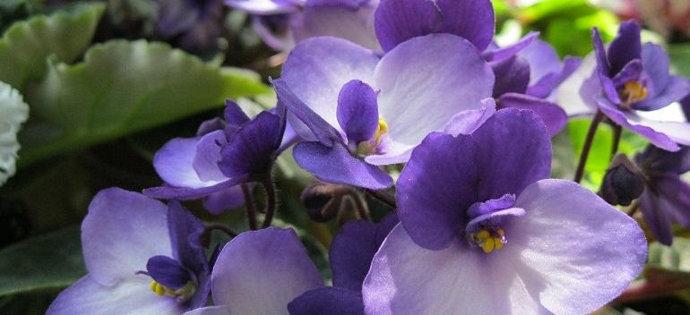 Plante cu flori pentru casa ta. Cele mai bune alegeri