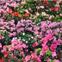 Azaleea: planta de apartament ideala