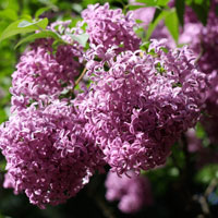 Liliacul, planta parfumata din gradina ta