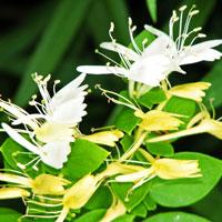 Planta pentru o gradina racoroasa: Mana Maicii Domnului