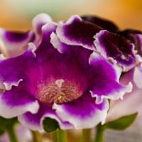 Gloxinia, planta tropicala splendida, ideala pentru apartament