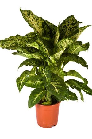 Dieffenbachia plante de interior ce purifica aerul for Plante de interior