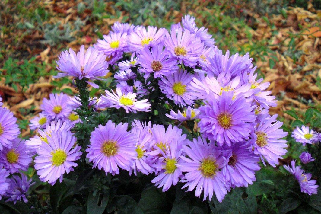 Toamna, esti minunata! 23 de imagini care ne aduc toamna in suflet ♥♥♥: Crizantemele - iubitele toamnei