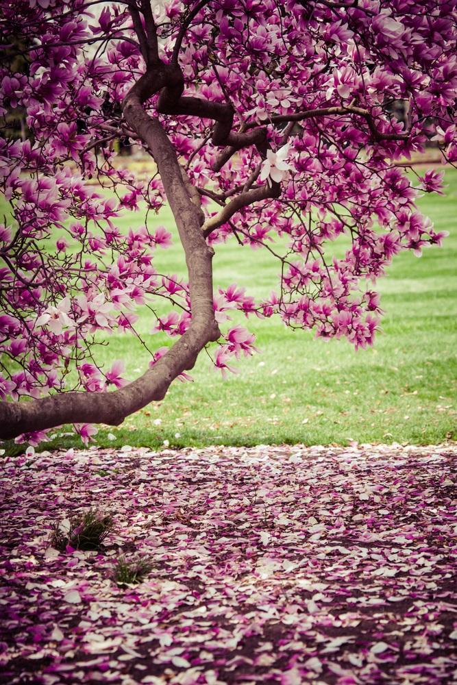 Raiul cu magnolii - Balsam pentru sufletele incercate: 21 de imagini cu magnolii in floare: Reverie si caderi tandre...