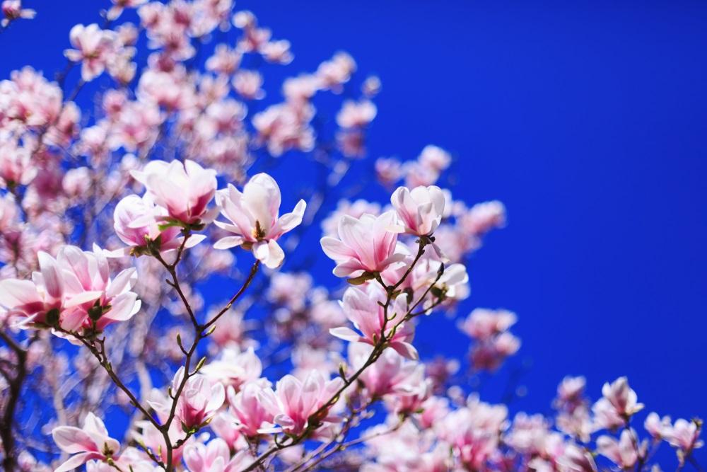 Raiul cu magnolii - Balsam pentru sufletele incercate: 21 de imagini cu magnolii in floare: Cer de primavara