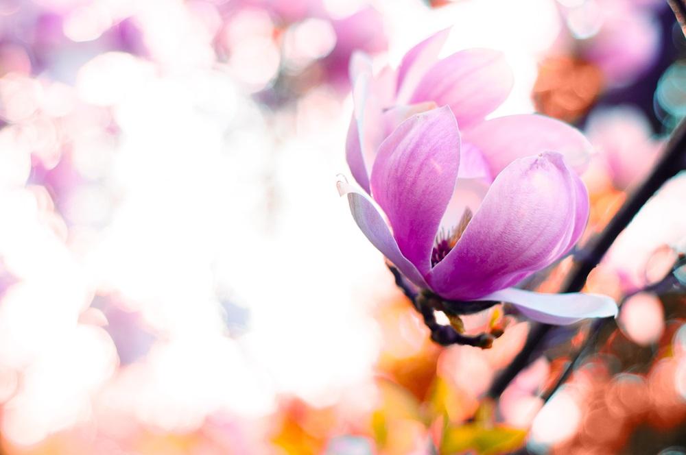 Raiul cu magnolii - Balsam pentru sufletele incercate: 21 de imagini cu magnolii in floare: Perfectiune intr-un boboc de floare