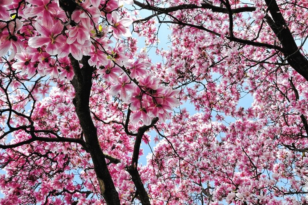 Raiul cu magnolii - Balsam pentru sufletele incercate: 21 de imagini cu magnolii in floare: Daca nu v-ati convins inca ca natura este cel mai bun pictor...