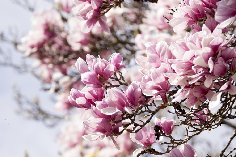 Raiul cu magnolii - Balsam pentru sufletele incercate: 21 de imagini cu magnolii in floare: Roz si petale, delicata sarutare