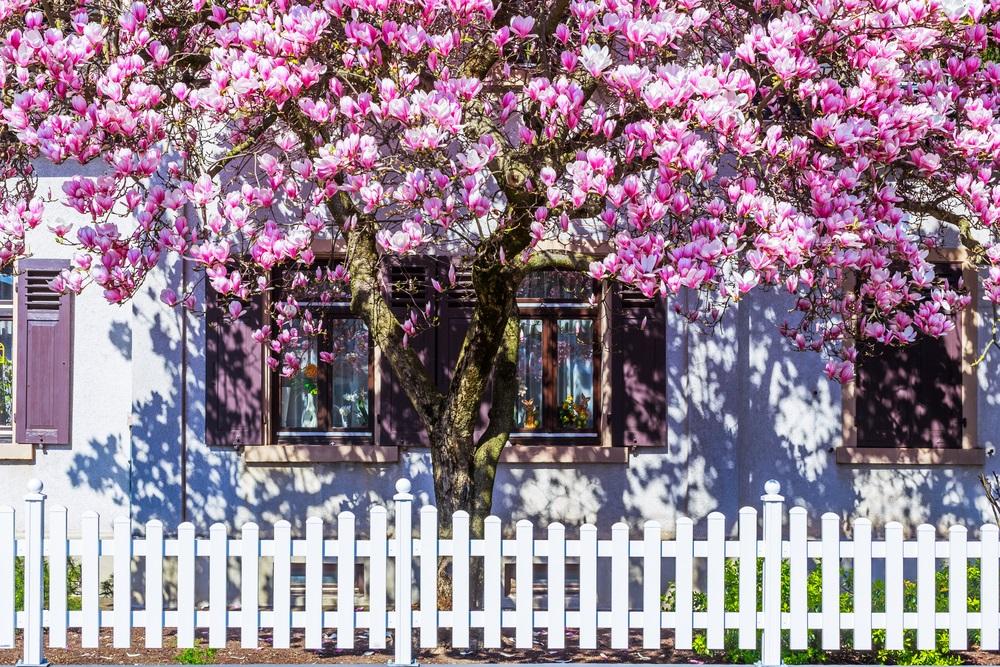 Raiul cu magnolii - Balsam pentru sufletele incercate: 21 de imagini cu magnolii in floare: Copacul vietii