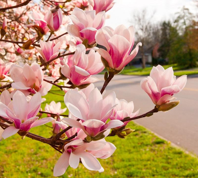Raiul cu magnolii - Balsam pentru sufletele incercate: 21 de imagini cu magnolii in floare: Explozie de viata pe aleile urbane