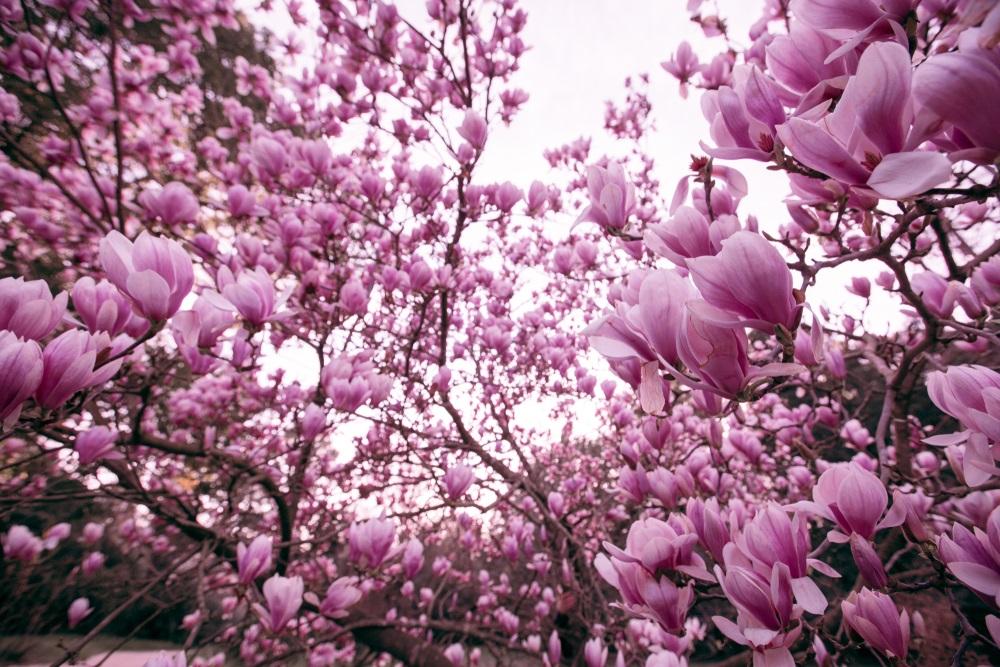Raiul cu magnolii - Balsam pentru sufletele incercate: 21 de imagini cu magnolii in floare: Un pic din rai se coboara in copaci
