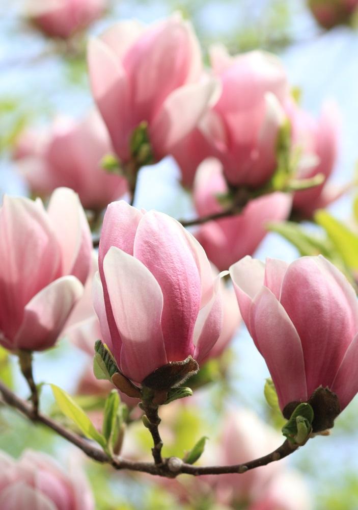 Raiul cu magnolii - Balsam pentru sufletele incercate: 21 de imagini cu magnolii in floare: Roz in degrade